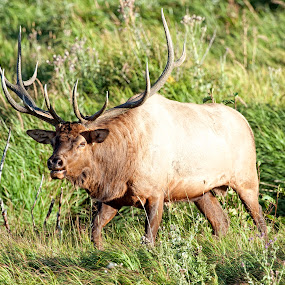 Rocky Mountain Bull Elk  by Cody Hoagland - Animals Other Mammals ( colorado )
