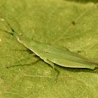 Green pyrgomorph grasshopper