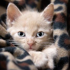 by Brook Kornegay - Animals - Cats Kittens ( orange, kitten, cat, ginger, feline, tabby,  )