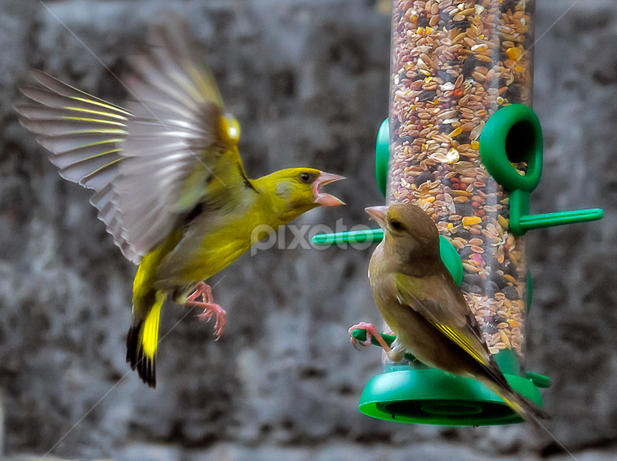 Bully... by Peter Greenhalgh - Animals Birds ( greenfinch, european greenfinch, fight, small birds, female, male, seeds, carduelis chloris )