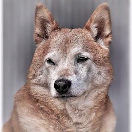Portrait of a dear friend by Astrid Kallerud - Animals - Dogs Portraits ( dogs, pet, shiba, dog portrait, dog, animal )