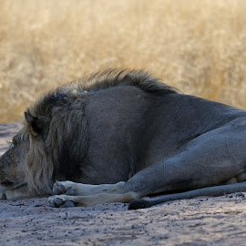 After eating...at Mpaya in Botswana. by Lorraine Bettex - Animals Lions, Tigers & Big Cats (  )