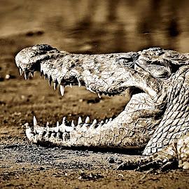 Croc Portrait by Pieter J de Villiers - Black & White Animals