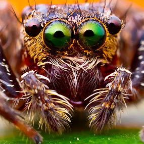 Jumping Spider by ธเนศ ขวยไพบูลย์ - Animals Insects & Spiders ( canon, macro, mpe65 )