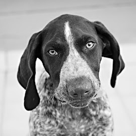 Keenan by Belinda  Burger - Animals - Dogs Puppies ( animals, black and white, dog, portrait, gsp )