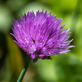 Chive Flower by Dave Lipchen - Flowers Single Flower ( chive flower )