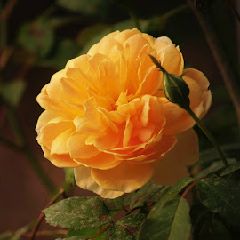 Yellow rose by Brenda Shoemake - Flowers Flower Buds (  )
