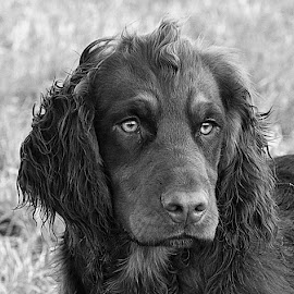 Dax by Chrissie Barrow - Black & White Animals ( monochrome, black and white, pet, cocker spaniel, eyes.nose, ears, fur, dog, mono, portrait, animal )