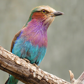 Rolier lilas by Gérard CHATENET - Animals Birds