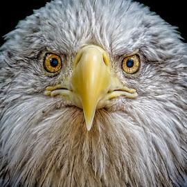 Bald Eagle by Buddy Woods - Animals Birds ( bird, world bird sanctuary, bald eagle, bald, birds )