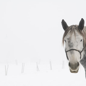 wide open air by Tine Butler - Animals Horses ( animals, winter, manitoba photographer, horses, tine butler, fog, crisp air, frost, photography )
