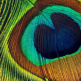 Peacock feathers macro by Vrinda Mahesh - Artistic Objects Other Objects ( wall art, peacock feathers, macro, colorful, wallpaper, object, close up, peacock, feathers macro )