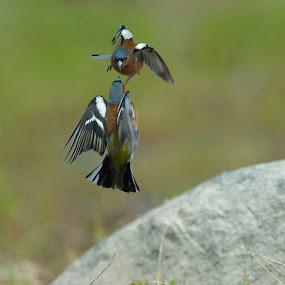 Bofink by Michael Pelz - Animals Birds