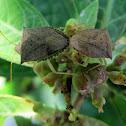 Dusky Stink Bugs mating
