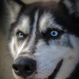 Ole Blue Eyes by Myra Brizendine Wilson - Animals - Dogs Portraits ( canine, dogs, pet, pets, dog )