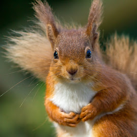 Cute Red squirrel by Michael  Conrad - Animals Other Mammals ( fluffy, nature, red squirrel, whiskers, wildlife, forest, cute, mammal, eyes, animal )