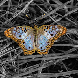 White Peacock Butterfly_Splash by Rick King - Digital Art Animals ( butterfly, splash, grass, color, black and white )