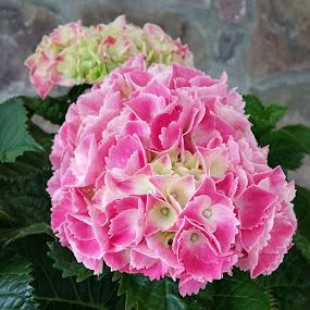 Pink Hydrangea Plant by Sandy Hogan - Flowers Flower Gardens ( pink flower, pinks, plants, flower photo, hydrangea plant, hydrangea, flowers, flower photography,  )