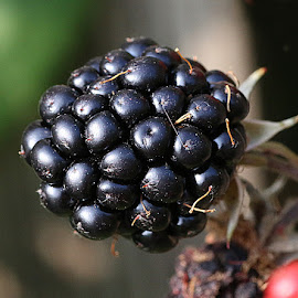 Single Blackberry by Chrissie Barrow - Nature Up Close Gardens & Produce ( blackberry, macro, fruit, single, bokeh, garden, black, sepals )
