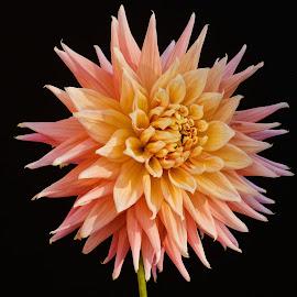 Yellow & Pink flower by Jim Downey - Flowers Single Flower ( pink, dahlia, yellow, black, petals )