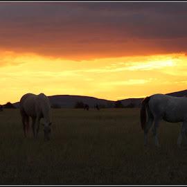 Grazing by Romano Volker - Animals Horses