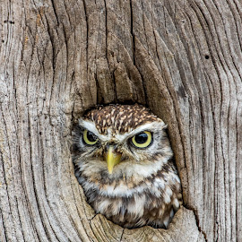 Little Owl by John Davies - Animals Birds ( birds of prey, little owl, athene noctua, photography day, jd photography, barn owl centre,  )