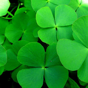 Greenish Clover by Krishna Kumar - Backgrounds Nature ( nature, green, backgrounds, leaves, clover )