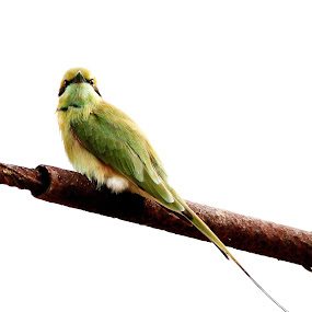 Bee EATER by Prakash Tantry - Animals Birds ( nature, color, beautiful, wildlife, birds,  )