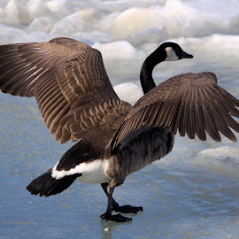 Goderich Birds 11 by Terry Saxby - Animals Birds ( bird, canada, terry, goderich, ontario, saxby, nancy, goose )