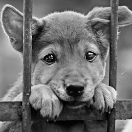Gaze of a puppy by Kriswanto Ginting's - Black & White Animals ( fence, black and white, indonesia, gaze, puppy, nikon,  )