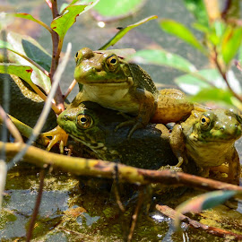 Frog Pile by Stephen Chandler - Animals Amphibians ( water, animals, nature, fauna, plants, wildlife, ecology, water primrose, amphibians, fromgs )