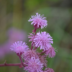 Pink Tufts by Jared Van Bergen - Nature Up Close Flowers - 2011-2013 ( photos, nature, pink, flowers, lady bug, photography )