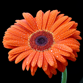 by Biljana Nikolic - Flowers Single Flower ( orange, water drops, daisy flower, red, nature, spring.gift, nice, flower )