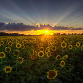 Sunflowers at sunset by Peter Stratmoen - Landscapes Sunsets & Sunrises ( field, minnesota, sunset, sunflowers, flowers, nikon )