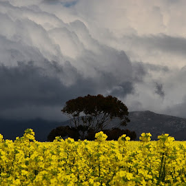 Canola Flowers by Martha van der Westhuizen - Landscapes Cloud Formations ( contrast, overberg, canola, dramatic, dark sky, storm clouds, yellow, flowers, crop, western cape )