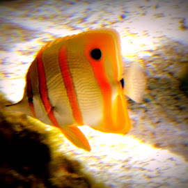 Copperband Butterfly Fish by Becky Luschei - Animals Fish ( water, newport or, fish, aquarium, copperband butterfly fish )