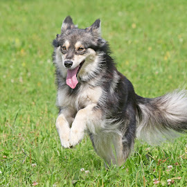 Happy Minni by Mia Ikonen - Animals - Dogs Running ( canine, finnish lapphund, pet, happy, action, finland, summer, dog, motion, running, mia ikonen )