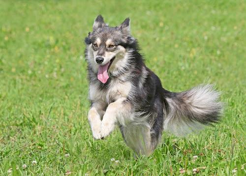 Happy Minni by Mia Ikonen - Animals - Dogs Running ( canine, finnish lapphund, pet, happy, action, finland, summer, dog, motion, running, mia ikonen )