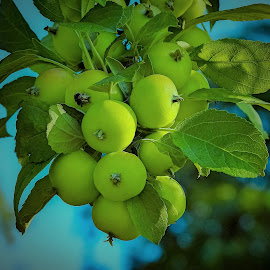 Green Apples by Sue Delia - Nature Up Close Gardens & Produce ( green, orchard, fruit tree, tree, apples,  )