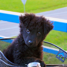 Ringo by Damir Kutleša - Animals - Dogs Puppies ( shepherd, bike, basket, driving, puppy, dog, black )