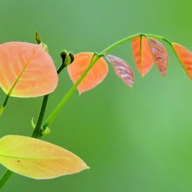new leaves by SANGEETA MENA  - Nature Up Close Leaves & Grasses