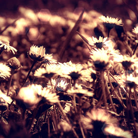 Flower bokeh by Dragan Dvorski - Novices Only Macro ( sepia, macro, nature, grass, macro photography, dark, nature up close, flowers, bokeh, flower )
