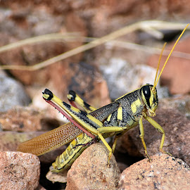 Grasshopper by Dawn Hoehn Hagler - Animals Insects & Spiders ( desert museum, zoo, arizona, tucson, insect, grasshopper )