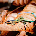 Blue-tailed Lizard (Lobito)