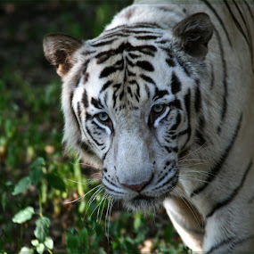 White Tiger by Nikesh Ponnen - Animals Lions, Tigers & Big Cats ( white tiger )
