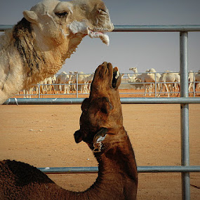 Camels by Tamoy Garra - Animals Other Mammals ( mating, wildlife )