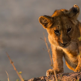 Cub in the Sunset by Tom Dunlap - Animals Lions, Tigers & Big Cats