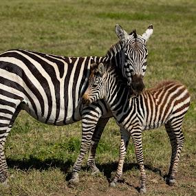 Mom? by Rosu Alexandru - Animals Lions, Tigers & Big Cats ( love, baby zebra, grass, family, wildlife, zebra, africa,  )