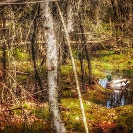 Mallard duck by Peter Krahn - Nature Up Close Water ( mallard, green, duck, forest, bog )