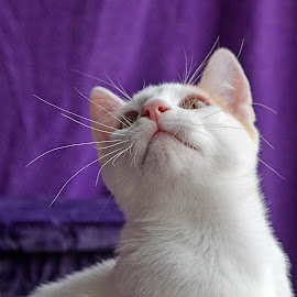 Where's the birdie by Jess van Putten - Animals - Cats Portraits ( cat, wiskers, white, kitty, animal,  )